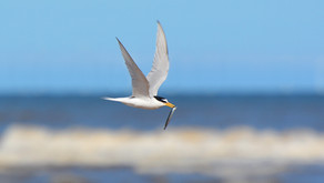 Oldest Little Tern in the world!
