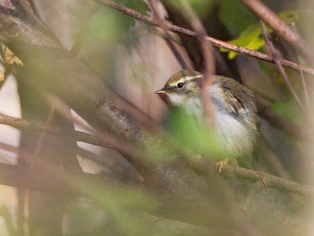 The Rhyl Warbler - by David Winnard
