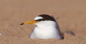 Gronant Little Tern Report 2020