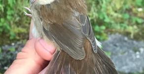 Cetti's Warbler at Rhydymwyn NR