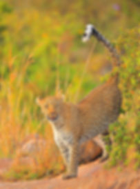 Kenya Leopard.JPG