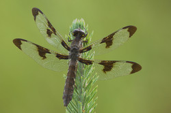 12 Spot Dragonfly