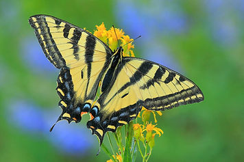 32 Western Tiger Swallowtail-2.jpg