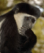 Black and White Colobus Monkey.JPG