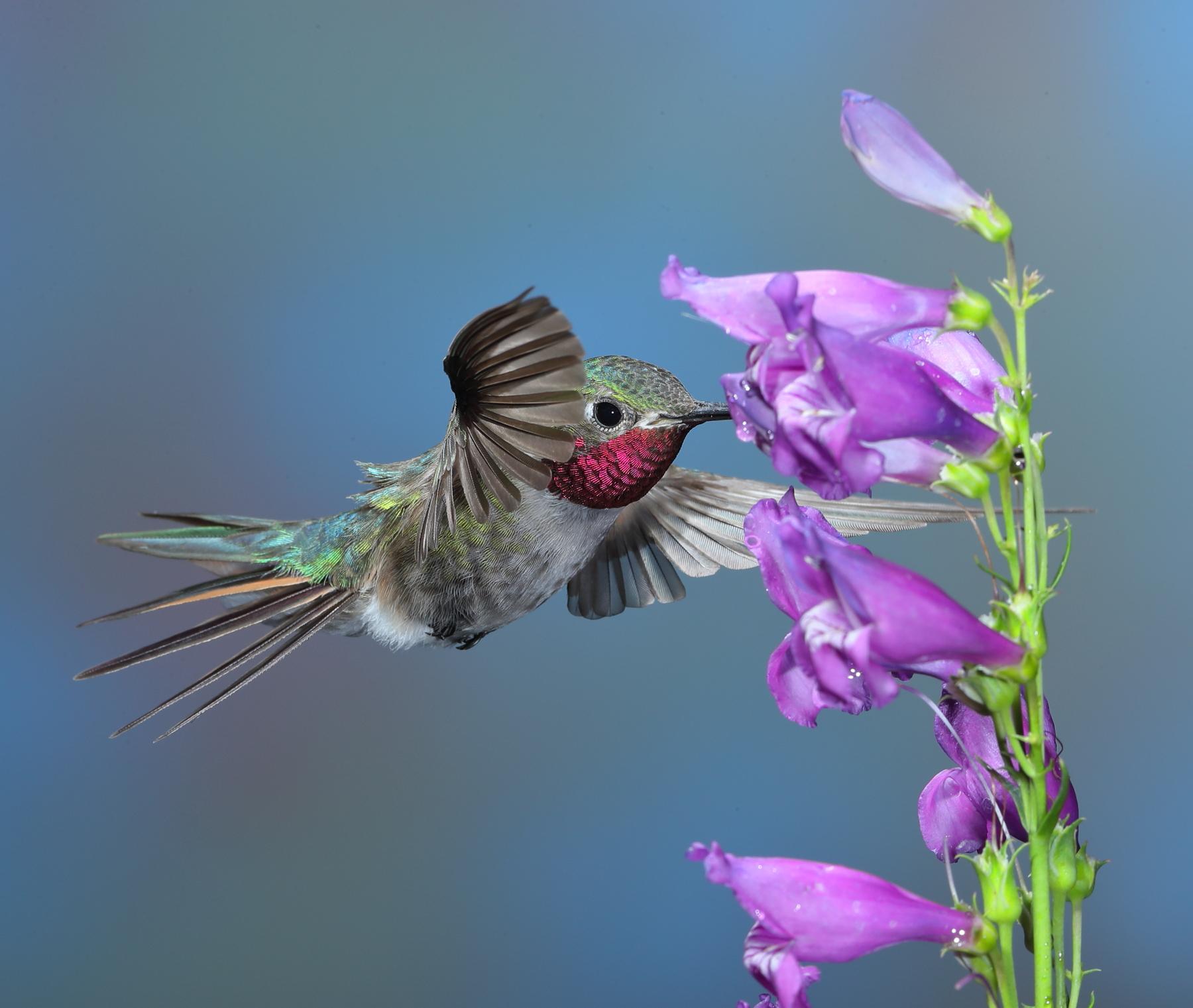 Broad-tailed Hummingbird (male)