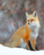 red fox .73 x 1 DA9I1890.JPG