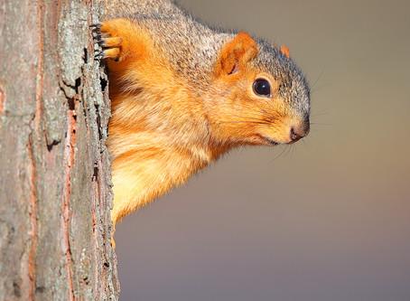 Foxy Fox Squirrels of Seymour, Indiana