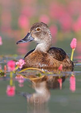 5x7 idaho duck C65I5866.JPG