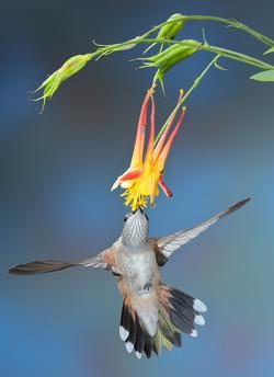 Calliope Hummingbird (female)