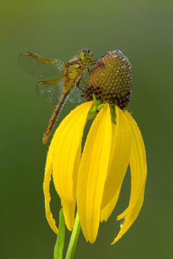 Dragonfly roosting on Coneflower