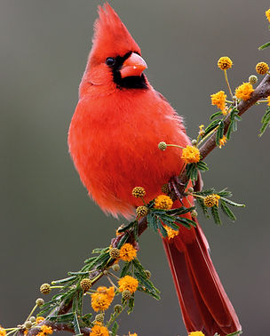 web .73 x 1 northern cardinal_21-02-16_I