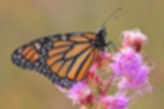 3x2 monarch.JPG