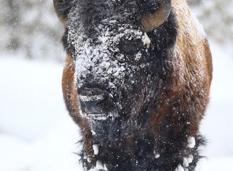 Winter Yellowstone Photography Strategies
