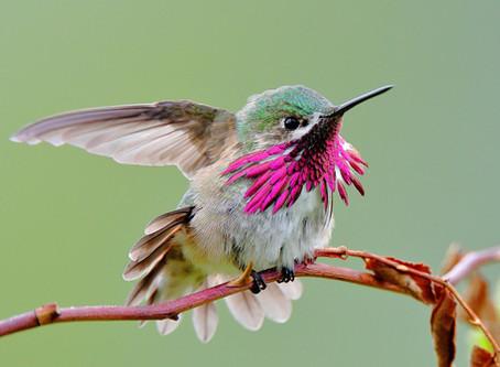 Big Telephoto Lenses for Hummingbirds?