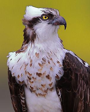 osprey .73x1_65I3997.JPG
