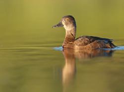 Female Ring Necked Duck