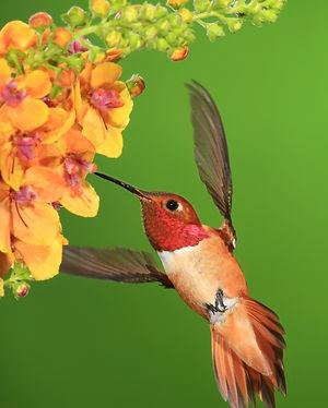 5x7 hummingbird 2A2A3393.JPG