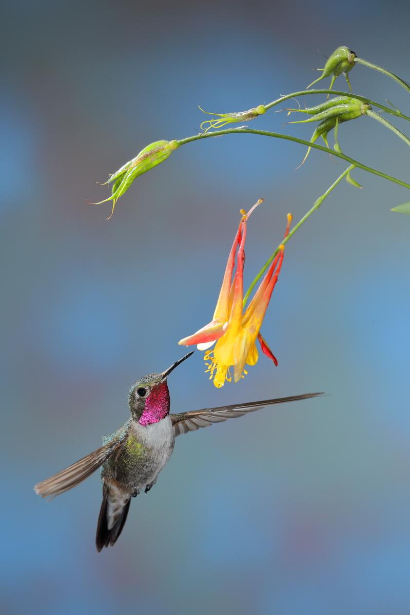 Rufous Hummingbird (male)