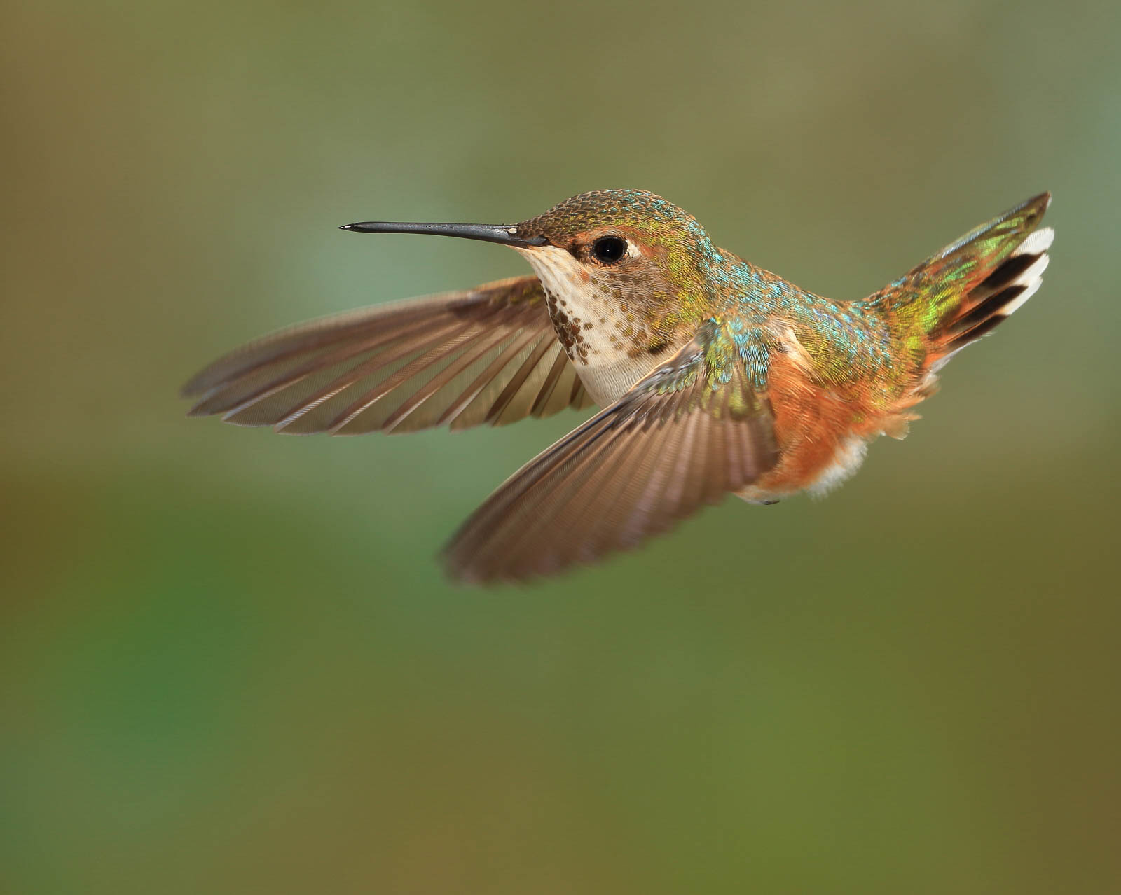 Rufous Hummingbird (female)