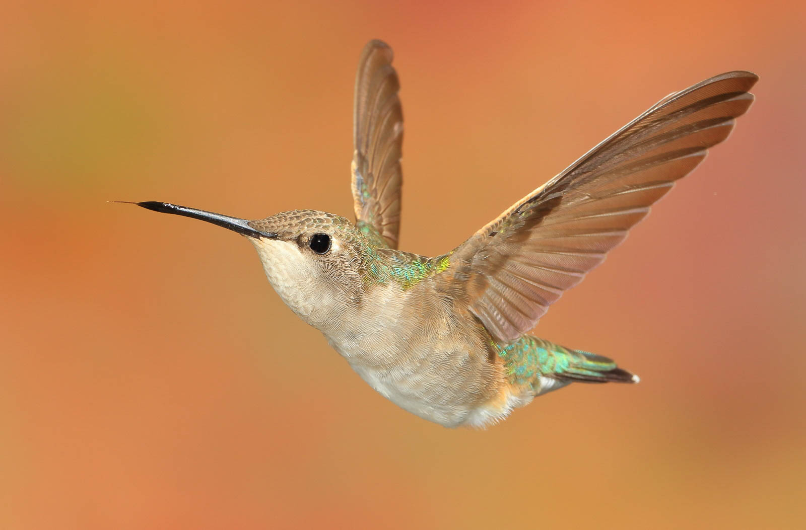 Black Chinned Hummingbird (female)