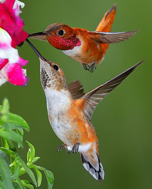 Rufous Hummingbird .73 x 1 air _MG_9195.