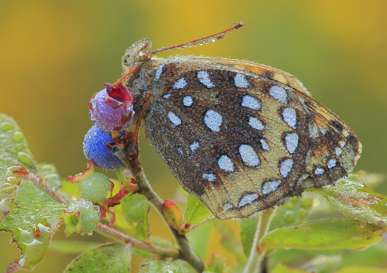 Great-spangled Fritillary