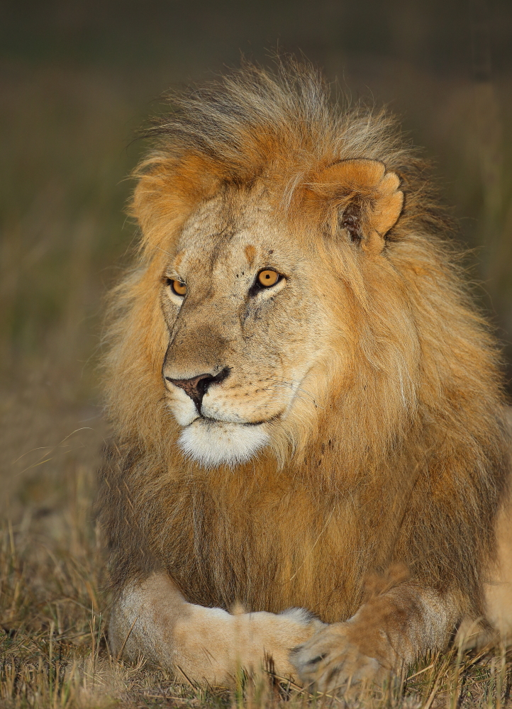 Lion Male Lying