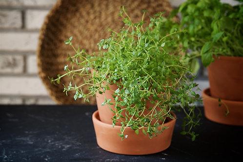 Thyme - per plant