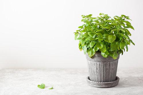 Lemon balm - per plant