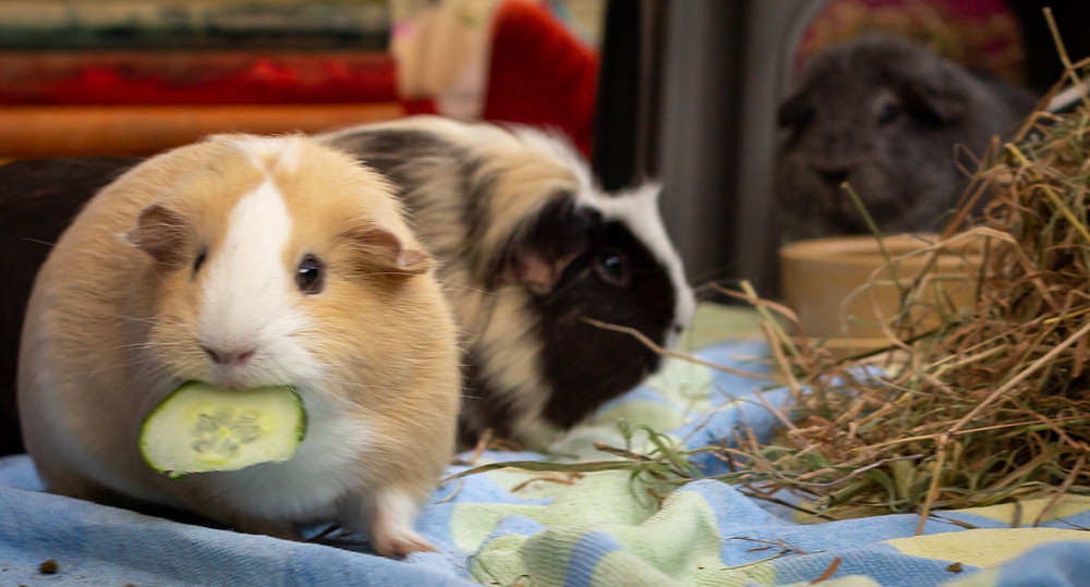 Guinea Pigs eating cucumber and hay