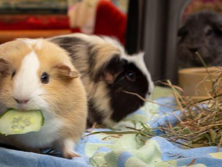 Guinea Pig Diet Advice