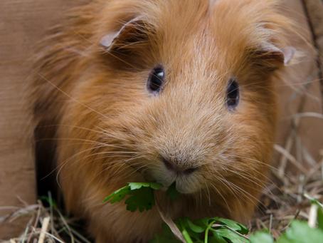Guinea Pigs and Conscious Dentals