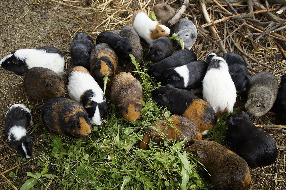 guinea pig herd with grass