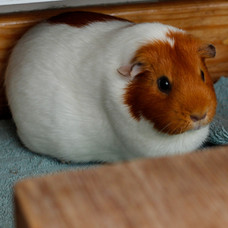 Pain Relief for Guinea Pigs
