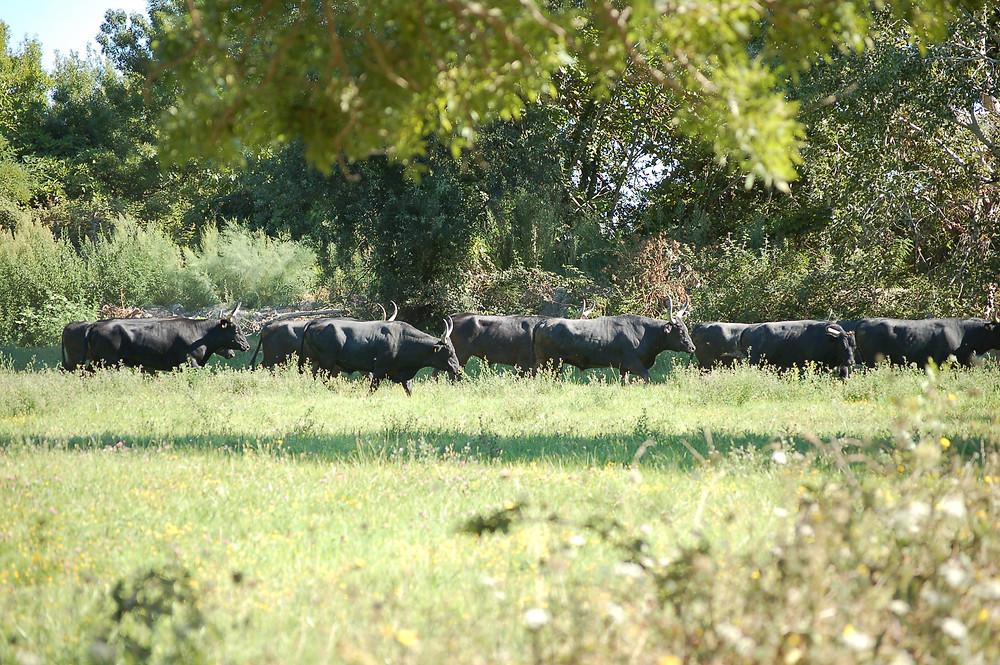 Les taureaux profitent de l'herbe tout l'été