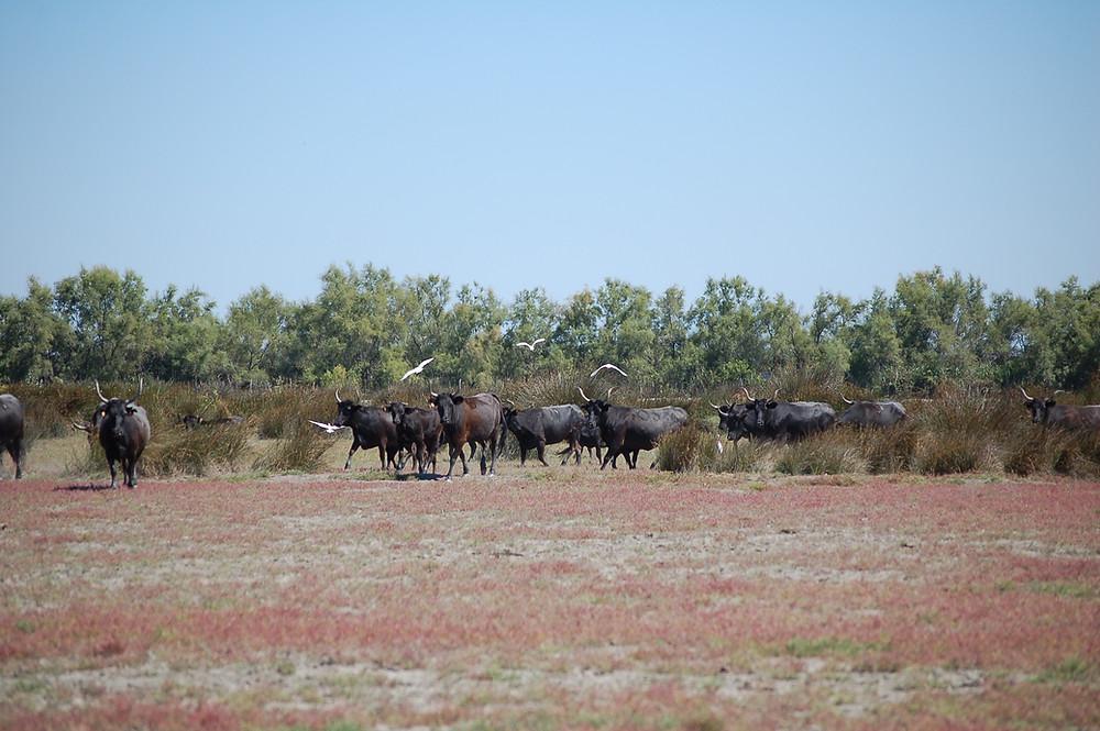 Les taureaux de race Camargue dans les sansouires