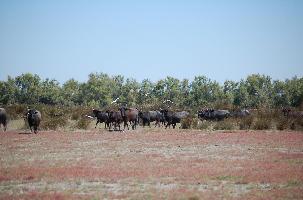 Le troupeau en extensif