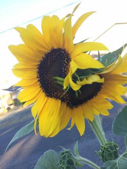 2017 Sunflower7