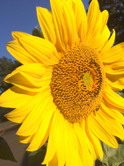 2017 Sunflower8