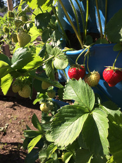 Barrel Strawberry4