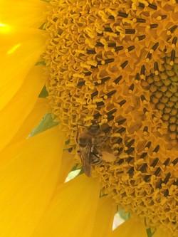 2017 Sunflower3
