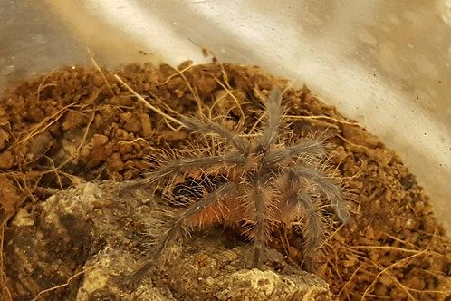 Pamphobeteus sp Cascada 2-3cm