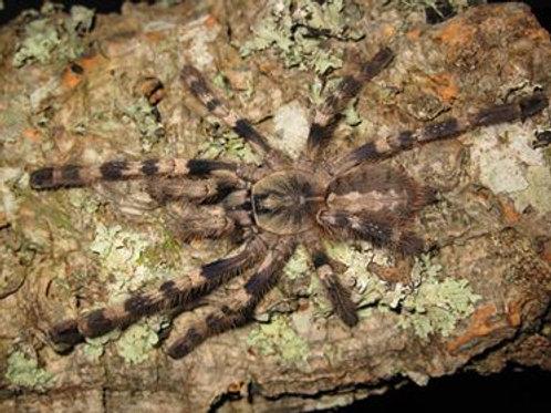 Poecilotheria tigrinawessell (Tiger Ornamental) 2cm