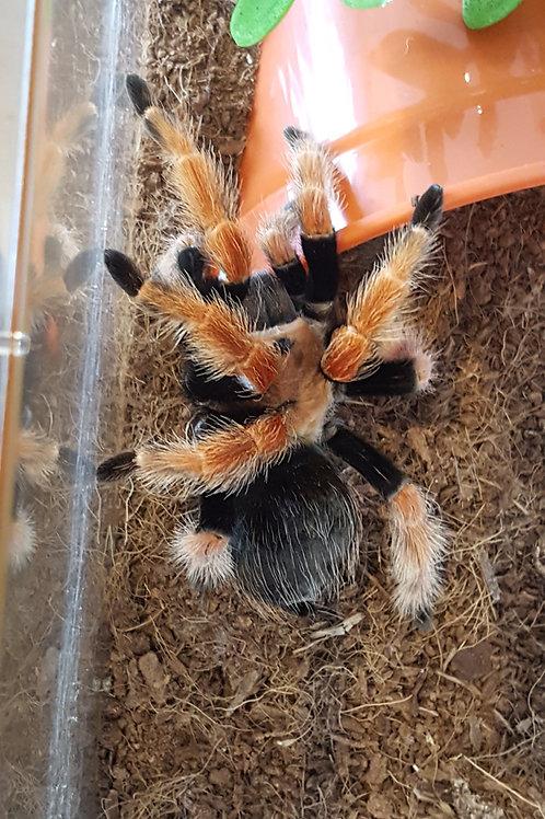 Brachypelma boehmei (Mexican FireLeg) 8-10cm Female