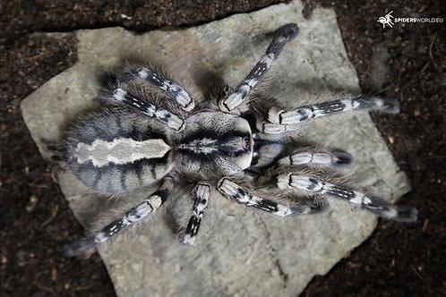 Poecilotheria vittata (Ghost Ornamental) 8-10cm Female