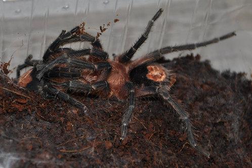 Cyriocosmus perezmilesi (Bolivian Dwarf Beauty) 2-3cm