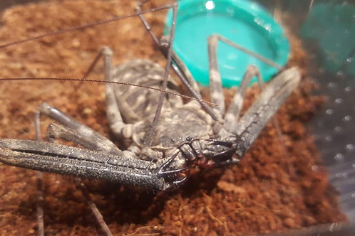 Damon medius (Tailess Whip Scorpion) Large