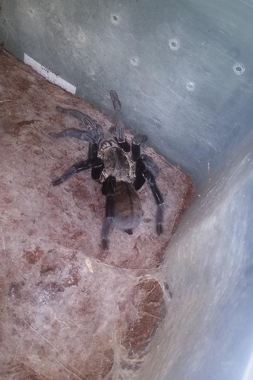 Cyriopagopus Minax (Thailand Black) 1-2cm