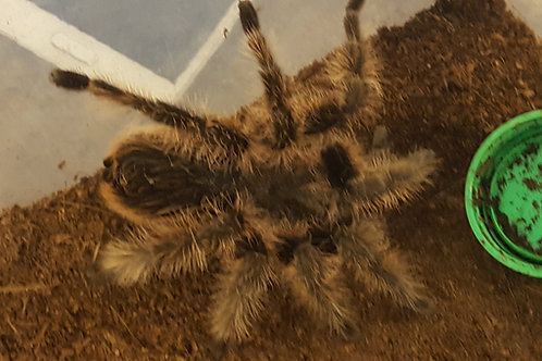 Tliltocatl albopilosus (Curly Hair True Form) 1-2cm