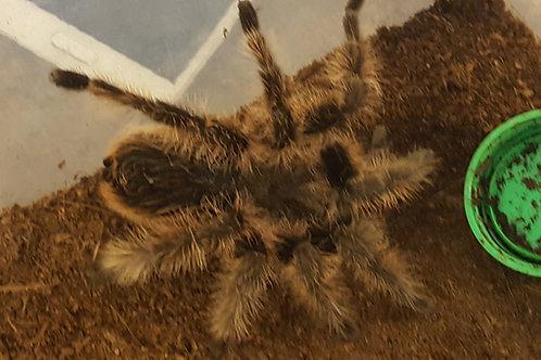Tlilocatl albopilosus Nicaragua (True Curly Hair) 3-4cm